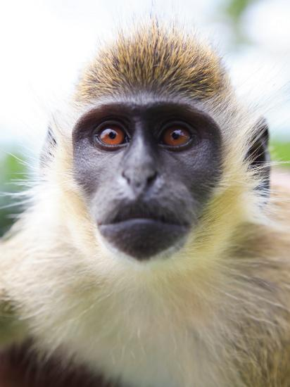 Green Ververt Monkey, St. Kitts, Caribbean-Greg Johnston-Photographic Print