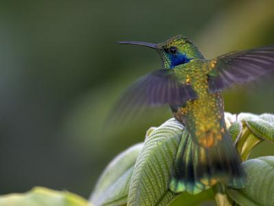 Green Violet-Ear Hummingbird (Colibri Thalassinus), Wings Extended-Roy Toft-Photographic Print