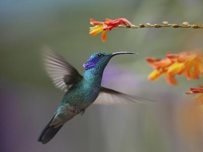 Green Violet-Ear Hummingbird Hovering at a Flower-Tim Fitzharris-Photographic Print