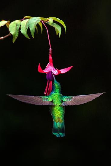 Green Violetear (Colibri Thalassinus) Feeding on a Flower, Savegre, Costa Rica--Photographic Print