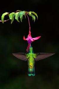 Green Violetear (Colibri thalassinus) feeding on a flower, Savegre, Costa Rica
