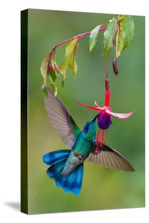Green Violetear (Colibri Thalassinus) Feeding, Savegre, Costa Rica