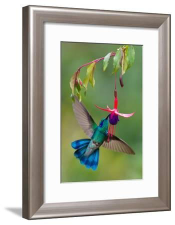 Green Violetear (Colibri Thalassinus) Feeding, Savegre, Costa Rica--Framed Photographic Print