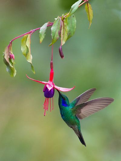 Green Violetear (Colibri Thalassinus) Feeding, Savegre, Costa Rica--Photographic Print
