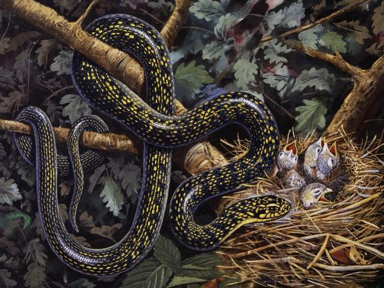 Green Whip Snake or Western Whip Snake (Hierophis Viridiflavus), Colubridae--Giclee Print