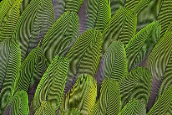 Green Wing Feathers of a Parrot-Darrell Gulin-Photographic Print