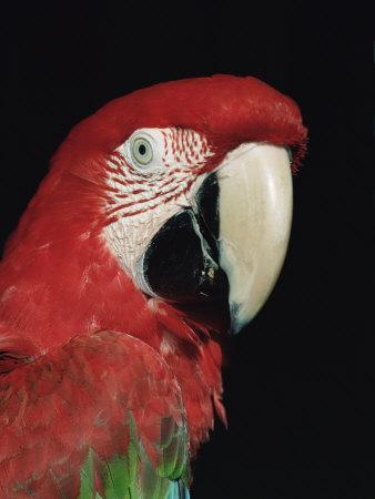 https://imgc.artprintimages.com/img/print/green-winged-macaw_u-l-q10nyse0.jpg?p=0