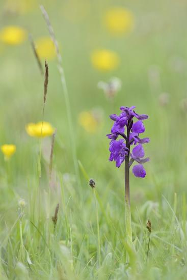 Green-Winged Orchid (Orchis) (Anacamptis Morio) Flowering in a Hay Meadow-Nick Upton-Photographic Print