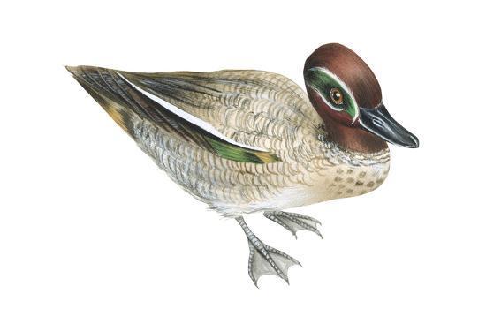 Green-Winged Teal (Anas Crecca), Duck, Birds-Encyclopaedia Britannica-Art Print