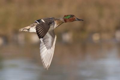 Green-Winged Teal Drake in Flight-Hal Beral-Photographic Print
