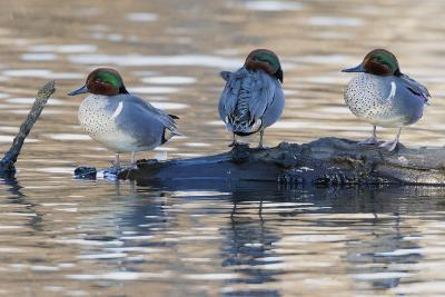 Green-Winged Teal Drakes Resting on a Log-Ken Archer-Photographic Print