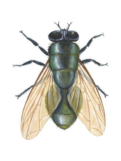 Greenbottle Fly (Lucilia Caesar), Insects-Encyclopaedia Britannica-Art Print