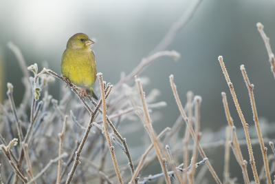 Greenfinch (Carduelis Chloris) Male Perched in Hedgerow in Frost, Scotland, UK, December-Mark Hamblin-Photographic Print