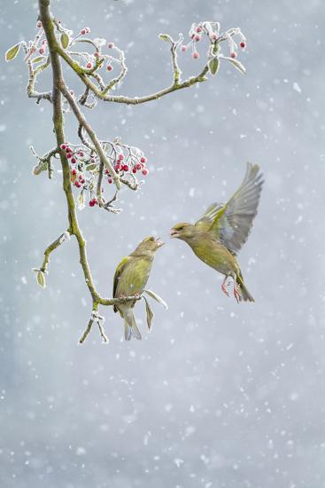 Greenfinch (Carduelis Chloris) Pair-Ben Hall-Photographic Print
