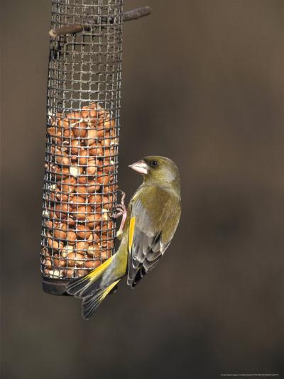 Greenfinch, Male Feeding on Peanutfeeder, UK-Mark Hamblin-Photographic Print