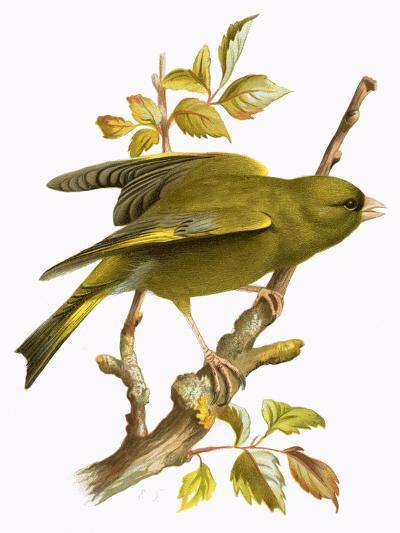 Greenfinch-English-Giclee Print