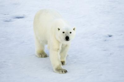 Greenland, Scoresby Sound, Polar Bear Walking on Sea Ice-Aliscia Young-Photographic Print