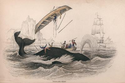 Greenland Whale-Robert Hamilton-Giclee Print