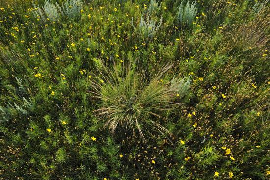 Greenthread, Navajo Tea, or Hopi Tea, Thelesperma Filifolium, in Bloom, and a Clump of Grass-Michael Forsberg-Photographic Print