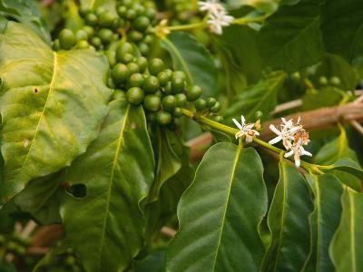 Greenwell Kona Coffee Farm, Big Island, Hawaii, USA-Inger Hogstrom-Photographic Print