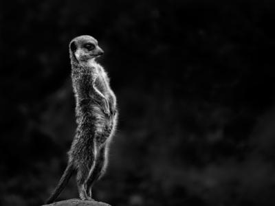 The Meerkat by Greetje Van Son