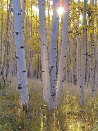 American Aspen Trees in Autumn Color