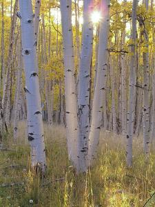 American Aspen Trees in Autumn Color by Greg