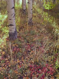 Aspen Tree Trunks and Leave Petals in Autumn by Greg