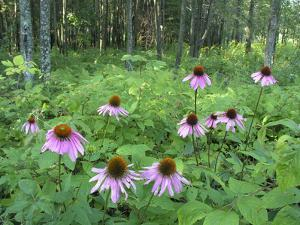 Cone Flowers Grow in the Forest by Greg