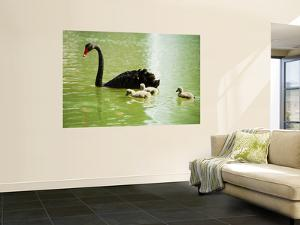 Black Swan (Cygnus Atratus) with Cygnets on a King's Park Lake by Greg Elms