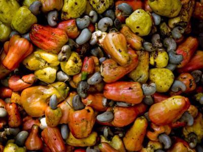 Fermenting Cashew Fruits, with Nut Attached, to Make Fenny at Sahakari Spice Farm, Ponda
