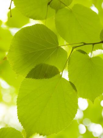 Leaves of Linden Tree, Botanic Gardens