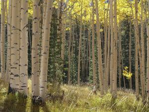 Grove of American Aspen Trees at Sunset in Autumn by Greg