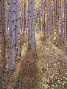Grove of Aspen Trees at Sunset by Greg