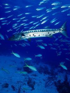 A Barracuda in Natural Habitat, Virgin Islands (UK) by Greg Johnston