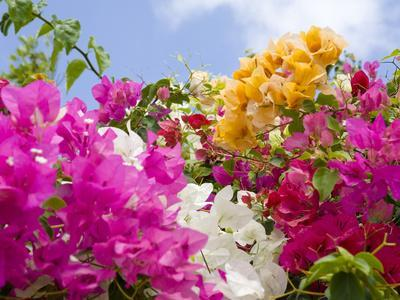 Bougainvillea, Cayman Brac, Cayman Islands, Caribbean