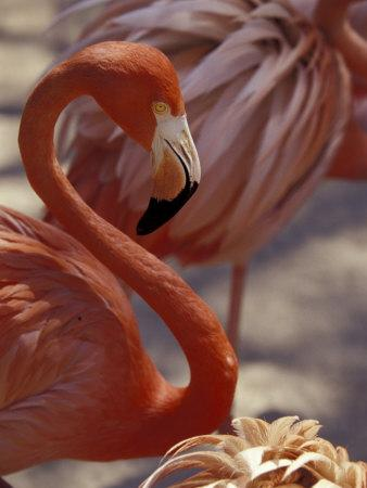 Pink Flamingo in Ardastra Gardens and Zoo, Bahamas, Caribbean