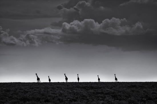 greg-metro-6-giraffes