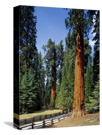 General Sherman Tree in the Background, Sequoia National Park, California