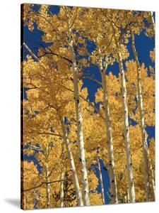 Golden Colored Aspen Trees, Coconino National Forest, Arizona by Greg Probst