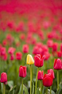 One Yellow Tulip in a Field of Red Tulips, Skagit Valley, Washington by Greg Probst