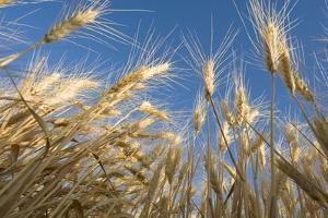 Ripening Heads of Soft White Wheat, Palouse Region of Washington by Greg Probst