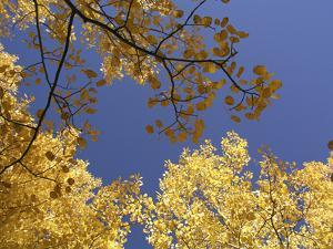 Skyward View of Aspen Tree Leaves in Full Fall Color by Greg