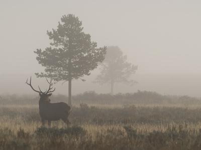 A Bull Elk, or Wapiti Bull, Cervus Canadensis