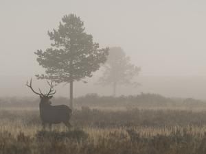 A Bull Elk, or Wapiti Bull, Cervus Canadensis by Greg Winston