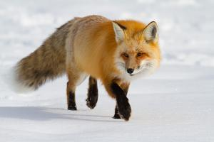 A Close-Up Of A Red Fox, Vulpes Vulpes, Back-Lit Stalking It's Prey In Fresh Fallen Snow by Greg Winston