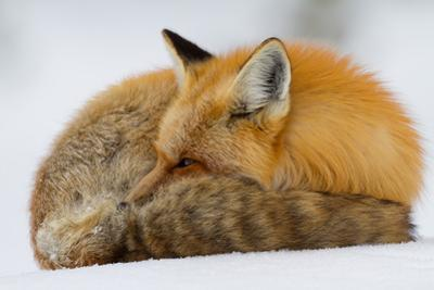 A Close-Up Of A Red Fox, Vulpes Vulpes, Curled Up To Rest, But Ever Watchful by Greg Winston