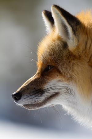 A Close-Up Of A Red Fox, Vulpes Vulpes, Looking Inquisitive And Watchful by Greg Winston