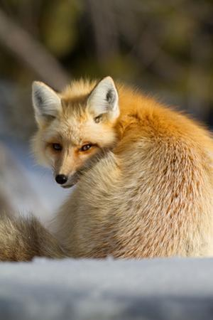 A Close-Up Of A Red Fox, Vulpes Vulpes, Looking Inquisitive Watching Over Its Shoulder by Greg Winston
