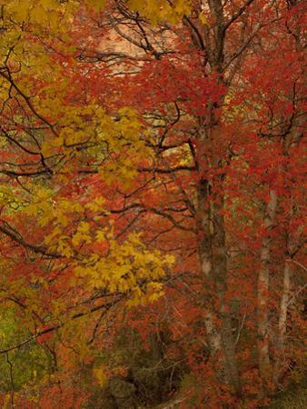 A Maple Tree in Fall Colors by Greg Winston